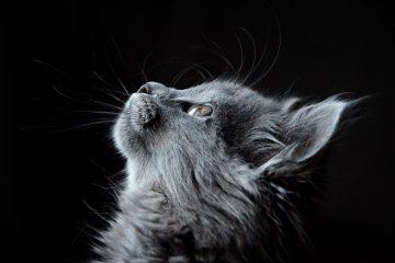 gatto grigio su fondo nero